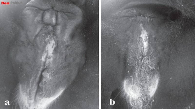 Edema in the anal and external genital area, a-within minutes of the intramsucular injection of penicillin-streptomycin, b-recovery 20h after treatment