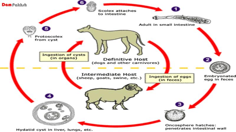 "سیر تکاملی انگل ""اکینوکوکوس گرانولوزوس"" عامل بیماری هیداتیدوز در طبیعت"