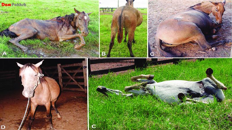 علایم بالینی کولیک در اسب