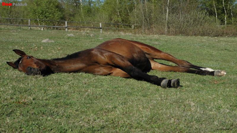 انقباض عضلانی در اثر توکسین کزاز در اسب