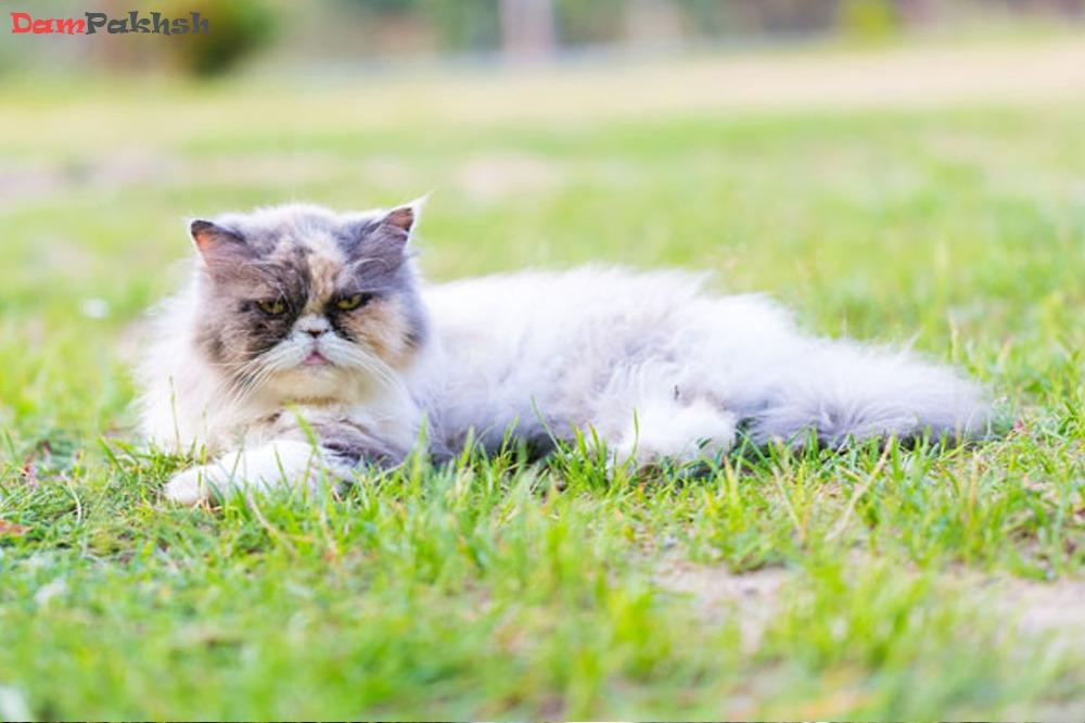 نژاد گربه پرشین