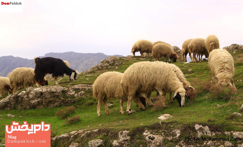 کمبود مس در گوسفندان