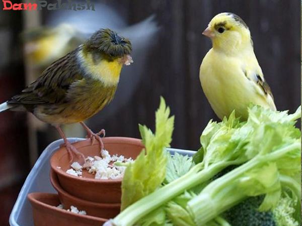 قناری با سبزیجات