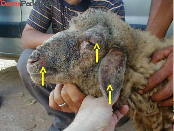 بررسی ابله گوسفندی