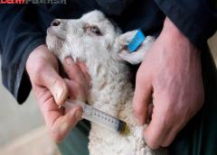 بررسی واکسن آبله گوسفندی موسسه رازی
